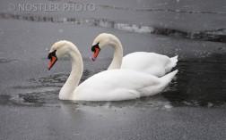 Swan lake.