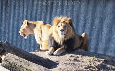 The lion pair