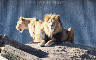 The lion pair
