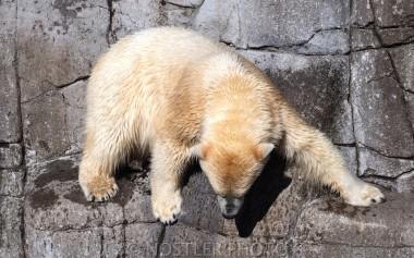Polar bear on the Rocks