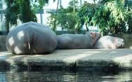 Hippo family in Copenhagen Zoo