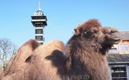 Zoo Camels