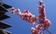 Sakura time.